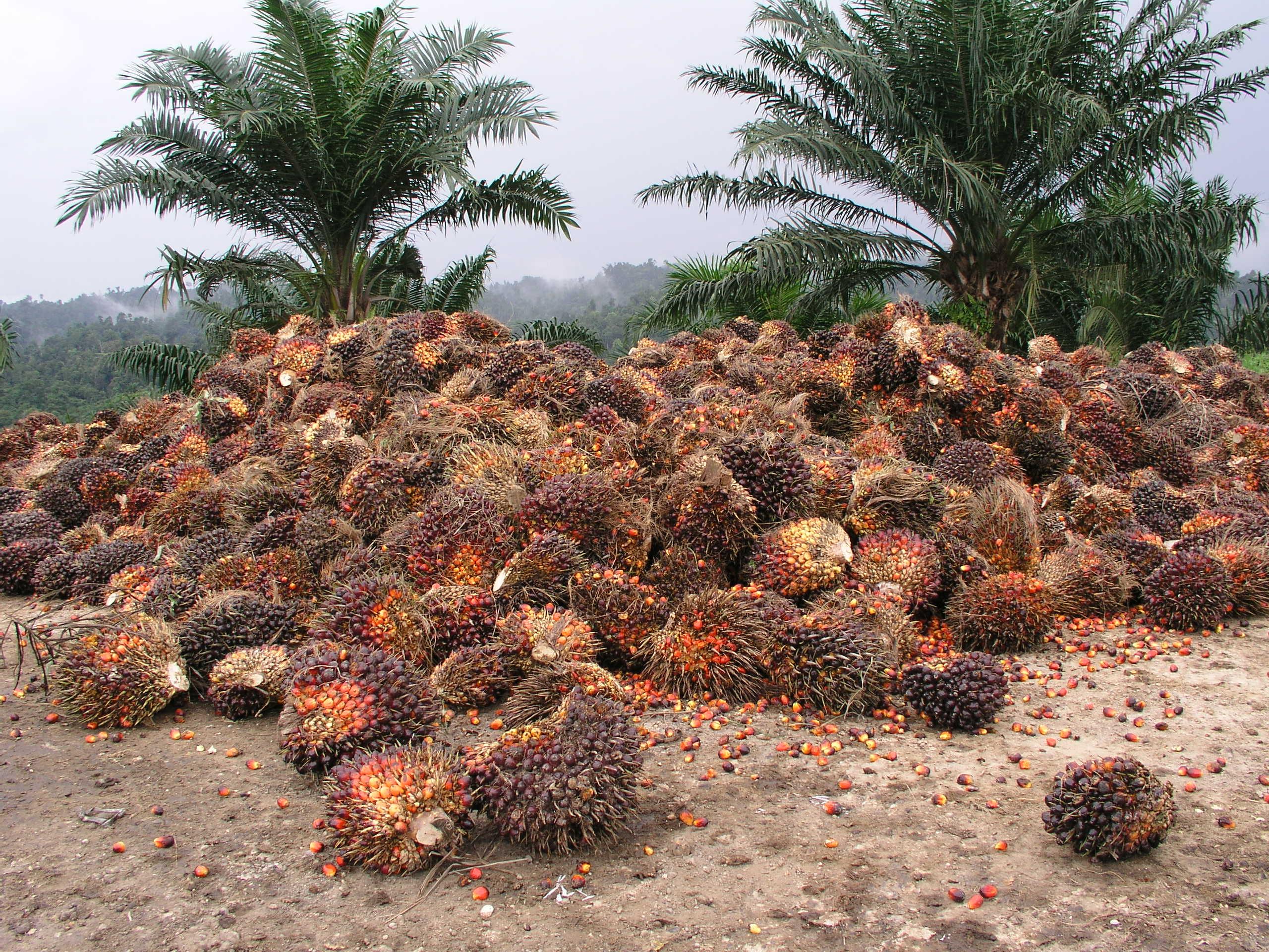 Oljepalmefrukter